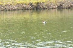 Pochard swimming and floating on the water lake ferina aythya. Floating Royalty Free Stock Photography