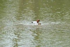 Pochard swimming and floating on the water lake ferina aythya. Floating Royalty Free Stock Photo