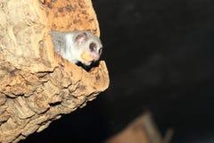 Poche lemure nane Fotografia Stock