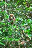 Pochi cercopitechi grigioverdi o guenons del wilde caratterizzano il paesaggio delle foreste pluviali fotografia stock libera da diritti