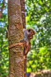 Pochi cercopitechi grigioverdi o guenons del wilde caratterizzano il paesaggio delle foreste pluviali fotografia stock