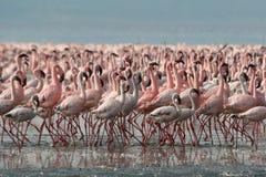 Pochi fenicotteri nel lago Nakur immagine stock libera da diritti