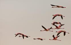 Pochi fenicotteri sul volo Fotografie Stock Libere da Diritti