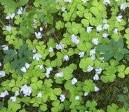 Pochi fiori della molla Immagine Stock