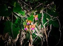 Pochi fiori di angelo nel selvaggio Fotografie Stock Libere da Diritti
