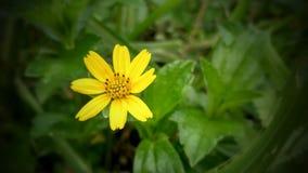 Pochi fiori di Sun Fotografia Stock Libera da Diritti