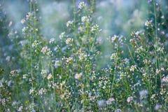 Pochi fiori selvaggi bianchi del prato Immagini Stock Libere da Diritti