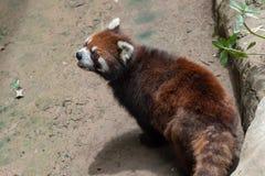 Pochi fulgens del panda-Ailurus Fotografia Stock Libera da Diritti
