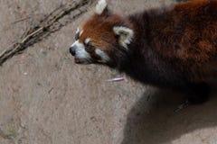 Pochi fulgens del panda-Ailurus Fotografie Stock Libere da Diritti