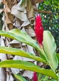 Pochodnia Imbirowy czerwony kwiat obrazy stock