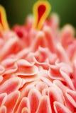 Pochodnia Imbirowy kwiat Zdjęcie Royalty Free