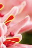 Pochodnia Imbirowy kwiat Zdjęcie Stock