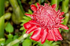 Pochodnia Imbirowy kwiat obraz stock