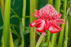 Pochodnia Imbirowy kwiat zdjęcia royalty free