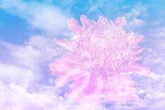Pochodnia imbirowy kwiat na niebieskim niebie z koloru filtrem zdjęcie stock
