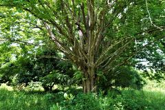 Pochote - taggigt cederträträd som är prickigt i Costa Rica Royaltyfri Foto
