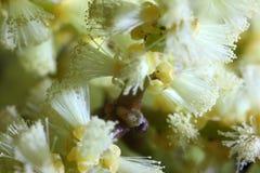 Pociąg mikroskopijny pollenation Zdjęcia Stock