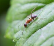 Pocisk mrówka w dżungli amazonas rzeczni Zdjęcia Royalty Free