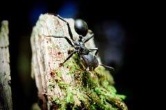 Pocisk mrówki w amazonce zdjęcia royalty free