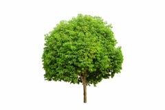 Pociska drewniany drzewo odizolowywający Zdjęcia Stock