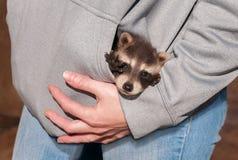Pocket Full of Baby Raccoon (Procyon lotor) Royalty Free Stock Photo