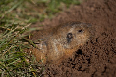the pocket gopher (family Geomyidae) Royalty Free Stock Image