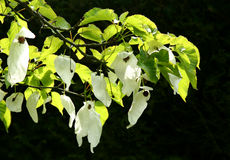Pocket handkerchief tree Stock Photos
