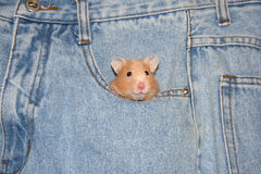Pocket pet. Syrian hamster in blue jeans pocket royalty free stock image