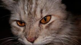 pocky the wildcat stock photo