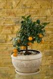 Poco árbol con las naranjas Fotografía de archivo