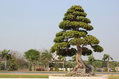 Poco árbol o bonsais Imágenes de archivo libres de regalías