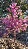 Poco árbol rosado foto de archivo
