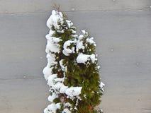 Poco árbol verde con nieve Imagen de archivo libre de regalías