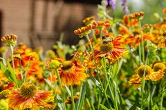 Poco abeja en una flor anaranjada fotos de archivo