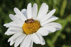 Poco abeja en una margarita blanca fotos de archivo libres de regalías