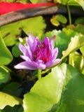 Poco abeja feliz en la flor de loto fotografía de archivo libre de regalías