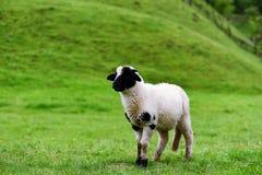 Poco agnello in bianco e nero della lana su un campo verde Fotografie Stock