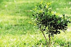 Poco albero Immagini Stock