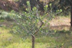 Poco albero delle olive Fotografie Stock