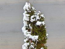 Poco albero verde con neve immagini stock
