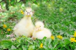 Poco anadones en la hierba verde P?jaros de la granja, cachorros imagen de archivo