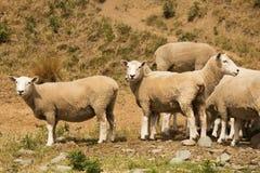 Poco animale di allevamento di pecore Immagini Stock