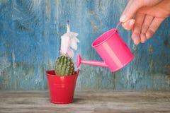 Poco annaffiatoio rosa in un cactus d'innaffiatura della mano femminile Vecchio w Fotografie Stock