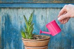 Poco annaffiatoio rosa in un succulente d'innaffiatura della mano femminile Ol Immagini Stock