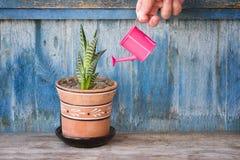 Poco annaffiatoio rosa in un succulente d'innaffiatura della mano femminile Ol Fotografia Stock