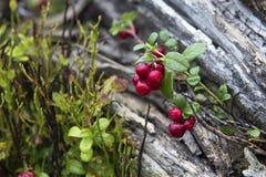 Poco arbusto de arándanos en una montaña del bosque en otoño imágenes de archivo libres de regalías