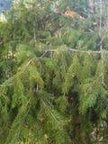 Poco ardilla en el árbol de pino foto de archivo