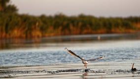 Poco aterrizaje de la gaviota en el delta de Danubio fotos de archivo