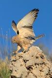 Poco atterraggio del kestrel sulla roccia Fotografie Stock