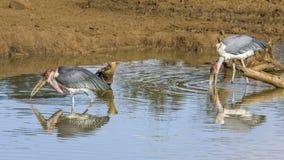 Poco ayudante (javanicus de Leptoptilos), en el riverbank imagenes de archivo